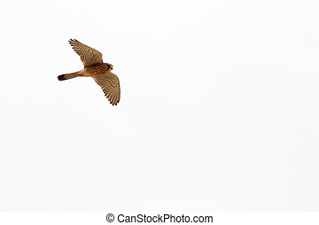 Kestrel (Falco tinnunculus) flying on a blue sky background