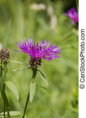 Common Black Knapweed Centaurea nigra rayed found in the UK...