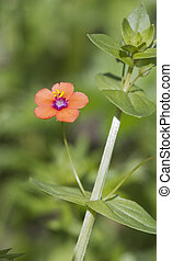 Scarlet Pimpernel (Anagallis arvensis) Wildlflower found in...