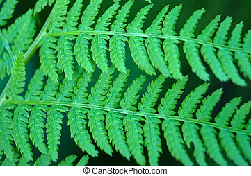 athyrium leaves closeup - athyrium green leaves close up