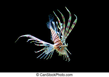 Isolated Lion Fish - Skinny lion fish swimming, isolated...