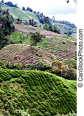 Cameron Highlands - Working on the tea plantation in the...
