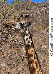 Giraffe eating bush - Young giraffe eating bush Ruaha...