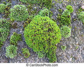 moss - Beautiful green moss growing on a rock