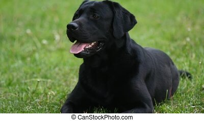 black labrador gnaws stick - black labrador lies on the...