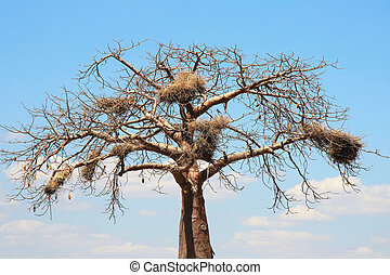 Baobab crown with big nests - Baobab crown with big birds...
