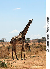 Giraffe in plain savanna Dry seazon Ruaha National Park,...