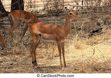female antelope - Young female antelope Impala. Ruaha...