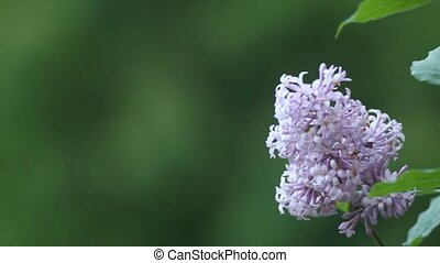 lilac branch in the park on a background of foliage