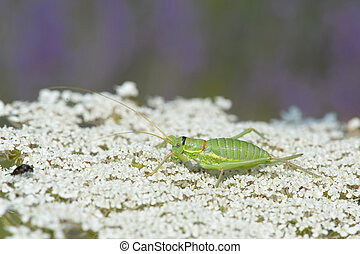 Grasshopper on cow parsley - Green grasshopper on white cow...