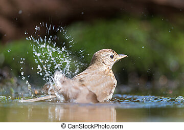 Mistle Thrush in nature water