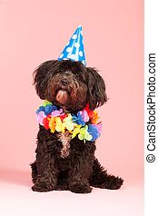 Birthday dog - Little dog having birthday with chain and hat
