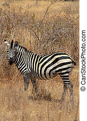 Zebra in bush. Dry seazon. Ruaha National Park, Tanzania,...