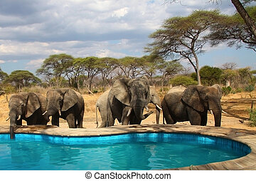 Elefants around swimming pool - A group of wild elefants...