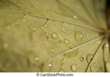 Macro leaf with drops - A close up of a yellow leaf with...