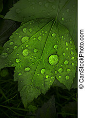 Leaf with giant waterdrops - A beautiful macro photo of a...