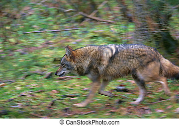 Coyote on the prowl - Snarling Coyote on the prowl. A woman...