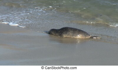 Wild Seal Hopping Onto Shore - Wild Seal hopping onto shore.