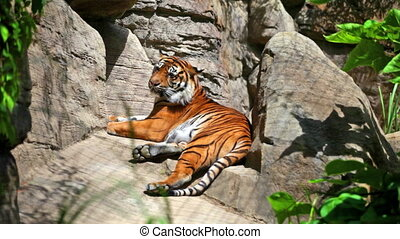 Sumatransky tiger lies on big stones