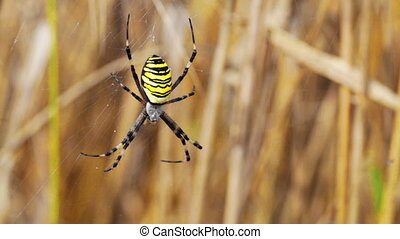 big yellow spider with black strips sits on a web