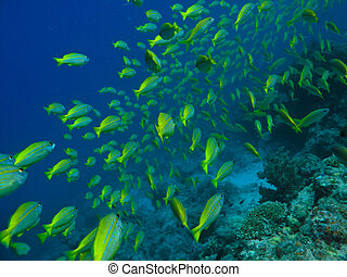 School of Surgeon fish on Great Barrier Reef Australia -...