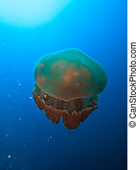 Box jellyfish top side view at Great Barrier Reef Australia