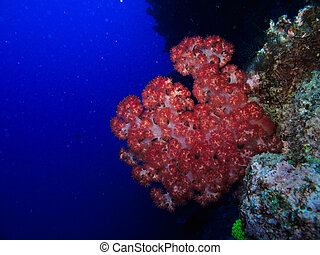 Great Barrier Reef Australia - Red Fire Coral on the Great...
