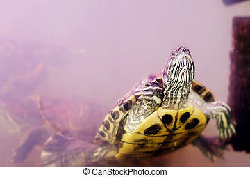 snag amphibians turtle underwater - the image on the snag...