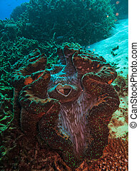 Open Giant Clam on Great Barrier Reef Australia - Giant...
