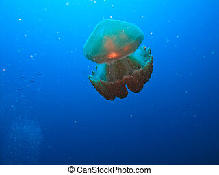 Box jelly fish on Great Barrier Reef Australia