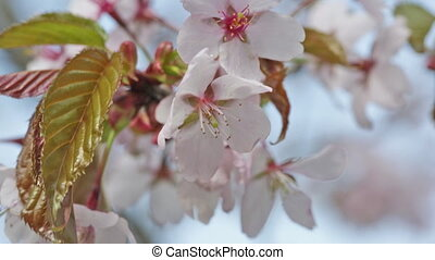 Branch of blossoming Oriental cherry sakura close up against...