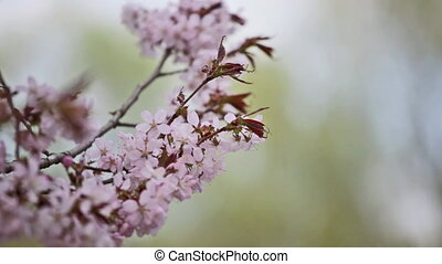 blossoming Oriental cherry sakura with pink flowers close up