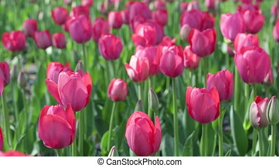 Beautiful pink tulips on a bed