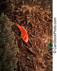 Red Clown Fish and Anemone in Great Barrier Reef Marine Park...