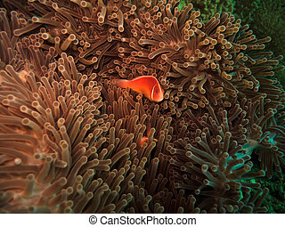 Red Clown Fish in Anemone in Great Barrier Reef Marine Park...