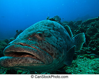Giant Potato Cod swims by on Great Barrier Reef Australia -...