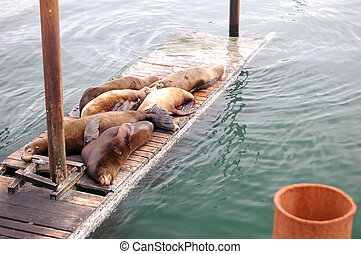 Lazy Sea lions - A bunch of lazy sea lions laying on a dock.