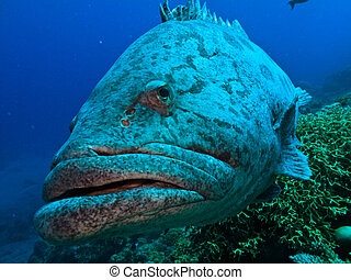 Close up of Great Barrier Reef Giant Potato Cod Fish...
