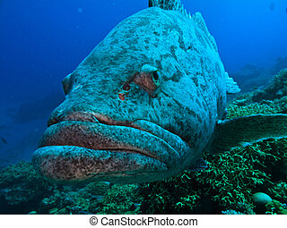 Great Barrier Reef Australia Giant Potato Cod - Giant Potato...