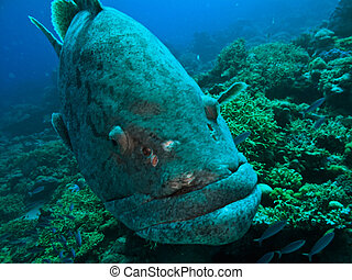 Giant Potato Cod Studying Diver on Great Barrier Reef...