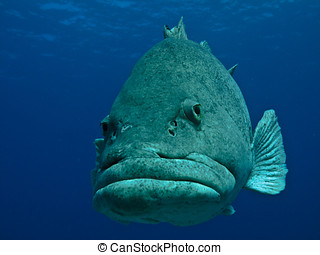 Giant Potato Fish undersea on Great Barrier Reef Australia -...