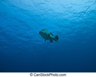 Underwater view of Giant Potatoe Cod, Great Barrier Reef...