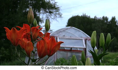 lily greenhouse garden - focus change of rural flowers dark...