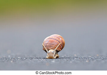 Burgundy snail Helix pomatiaon the street