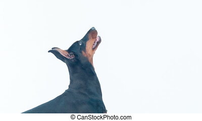 Side view of barking dobermann pincher - Ready to play....