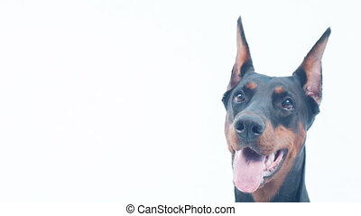 Close-up of Doberman muzzle - Playful mood. Close-up and...