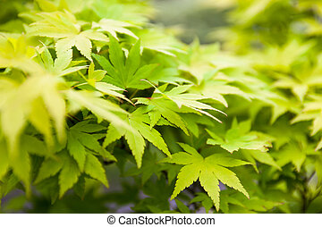 Green leaves of the Japanese maple (Acer palmatum)