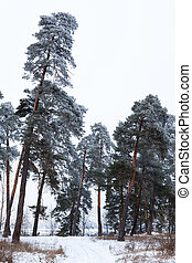 Pine trees in the forest covered with hoarfrost in the...