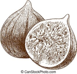 engraving illustration of two figs - Vector engraving...