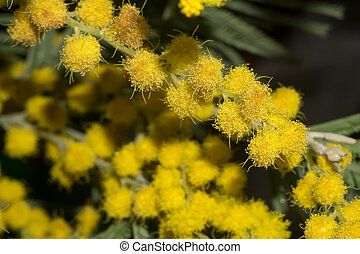 Mimosa Macro - Small flowers of yellow mimosa macro shot